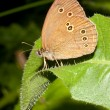 Aphanthopus hyperanthus / ringlet butterfly — Stock Photo #4841264