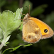 Stock Photo: Gatekeeper butterfly on plant in summer - Pyronitithonus