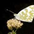 Stock Photo: Bath white resting on white flower - Pontidaplidice