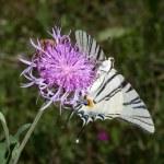 Scarce swallowtail ( Iphiclides podalirius ) on a violet flower — Stock Photo #4841340