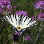 Scarce swallowtail ( Iphiclides podalirius ) on a violet flower — Stock Photo #4841357