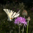 Stock Photo: Scarce swallowtail ( Iphiclides podalirius ) on a violet flower