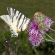 Scarce swallowtail ( Iphiclides podalirius ) on a violet flower — Stock Photo #4841381