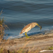 Stock Photo: Squacco or Silky Heron looking for food (Ardeolralloides)