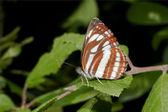 Common glider ( Neptis sappho ) on a green leaf — Stock Photo