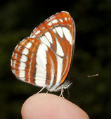 Common glider ( Neptis sappho ) on a human finger — Stock Photo