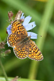 Glanville Fritillary butterfly (Melitaea cinxia) — Stock Photo