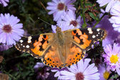 Painted lady on a violet flower close-up / Vanessa cardui — Stock Photo
