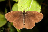 Ringlet butterfly / Aphanthopus hyperanthus — Stock Photo
