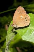 Aphanthopus hyperanthus / ringlet butterfly — Stock Photo