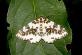 Magpie moth resting on a green leaf - Abraxas grossulariata — Stock Photo