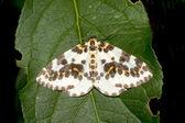 Magpie moth resting on a green leaf - Abraxas grossulariata — Stock Photo