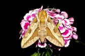 Spurge Hawk-moth / Hyles euphorbiae — Stock Photo
