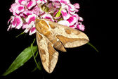 Spurge Hawk-moth / Hyles euphorbiae — Stock Photo