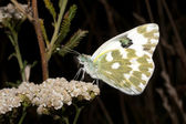 Bath white resting on a white flower - Pontia daplidice — Stock Photo