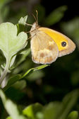A gatekeeper butterfly on a plant in summer - Pyronia tithonus — Stock Photo