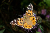 Painted lady / Vanessa cardui — Stock Photo