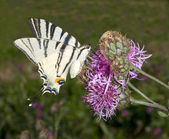 Scarce swallowtail ( Iphiclides podalirius ) on a violet flower — Stock Photo