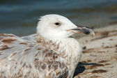 A juvenile of herring gull portrait close-up / Larus argentatus — Stock Photo