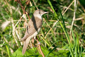 Great reed warbler ( Acrocephalus arundinaceus ) in a natural habitat. — Stock Photo