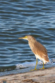 Squacco or Silky Heron looking for food (Ardeola ralloides) — Stock Photo
