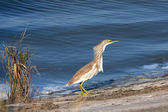 Squacco or Silky Heron looking for food (Ardeola ralloides) — Photo