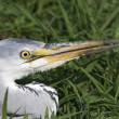 Stock Photo: Great grey heron portrait / Ardecinerea
