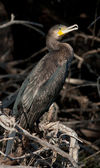 Kormoran / phalacrocorax carbo — Stockfoto