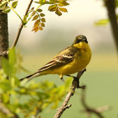 Yellow Wagtail Motacilla flava — Stock Photo