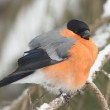 A male of bullfinch resting on a branch, in a winter scene (Pyrrhula pyrrhu — Stock Photo #5118171