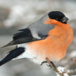 A male of bullfinch resting on a branch, in a winter scene (Pyrrhula pyrrhu — Stock Photo #5118178