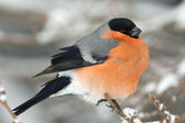 A male of bullfinch resting on a branch, in a winter scene (Pyrrhula pyrrhu — Stock Photo