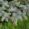 Bough of blue spruce — Foto de Stock