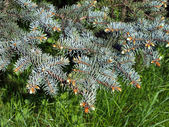 Bough of blue spruce — Stock Photo