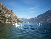 Seven swans shoot on the Garda lake — Stock Photo