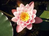 Nenúfar rosa baleado no jardim da água — Foto Stock