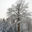 Big winter oak — Stock Photo #4636645