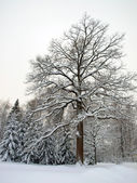 Big winter oak — Stock Photo