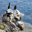 Pelicans sunning — Stock Photo #4244956