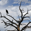 Stock Photo: Raven on stark tree