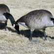 Two geese — Stock Photo #4244973