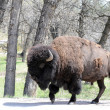 Bison molting — Stock Photo