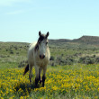 Lone Spanish Mustang in wildflowers — Stock Photo