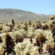 Cholla, Joshua Tree — Stock Photo