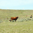 Stock Photo: Lone longhorn in grasslands