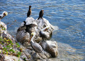 Pelicans sunning — Stock Photo