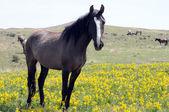 Dark Spanish Mustang in wildflowers — Stock Photo
