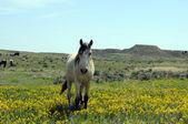 Lone Spanish Mustang in wildflowers — Stock Photo