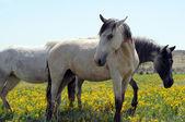Three wild Spanish Mustangs in wildflowers — Stock Photo