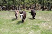 Wild burros three — Stock Photo